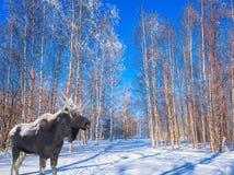 壮观的麋在积雪的树丛里 免版税库存图片
