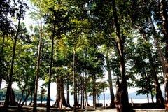 壮观的150只脚树- Radhanagar海滩的, Havelock海岛,安达曼群岛,印度海Mohwa 库存图片