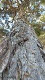 壮观的结构树 库存图片