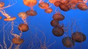 壮观的水母 股票视频