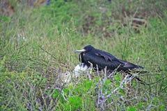 壮观的Frigatebird女性和她的小鸡 免版税库存图片