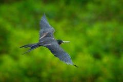 壮观的frigatebird, Fregata magnificens,飞鸟绿色植被 从哥斯达黎加海岸野生生物场面的热带海鸟 库存图片