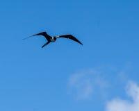 壮观的Frigatebird费尔南多・迪诺罗尼亚群岛巴西 库存图片