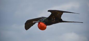 壮观的frigatebird 免版税库存照片