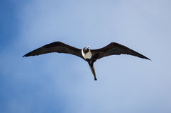 壮观的frigatebird 免版税库存图片
