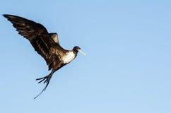 壮观的frigatebird 免版税图库摄影