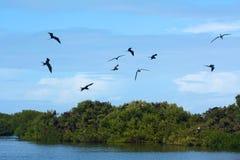 壮观的Frigatebird (Fregata magnificens) 图库摄影