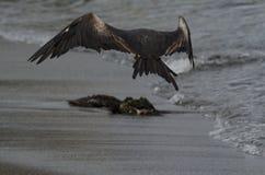 壮观的Frigatebird (Fregata magnificens) 免版税库存照片