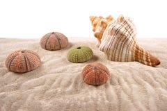壳和干海顽童在沙子 免版税库存图片
