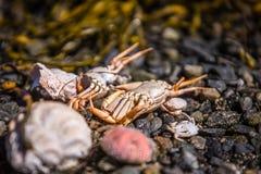 壳和螃蟹在海滩 库存图片