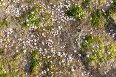 壳在Hilgenriedersiel附近的沃登海 免版税图库摄影