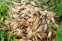 壳玉米 免版税图库摄影