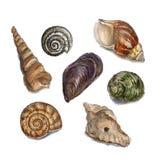 壳的水彩例证 库存照片
