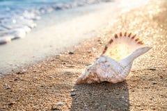 贝壳背景,在日落光的大贝壳 图库摄影