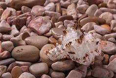 贝壳背景-美丽的贝壳宏观射击  免版税库存图片