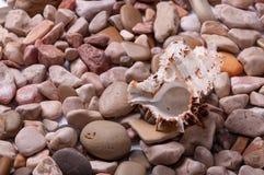 贝壳背景-美丽的贝壳宏观射击  免版税库存照片