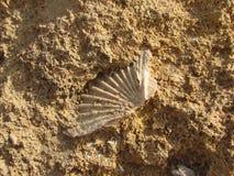 壳被楔住在岩石之间 图库摄影