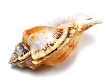 壳青蛙蜗牛(Tutufa腹股沟淋巴肿块) 免版税库存图片