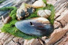 壳,蜗牛,岩石,在木头的河杂草 免版税图库摄影