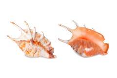 贝壳,隔绝在白色 库存例证