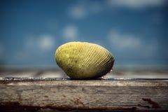 壳 在木桥的淡菜 马尔代夫 假期 热带 海洋 图库摄影