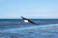处于低潮中在飞行中一只白头鹰 库存图片