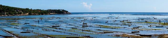 处于低潮中种田在努沙Lembongan海岛上的海草 免版税图库摄影