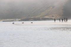 处于低潮中走在海滩的人们和狗在雾,普林斯顿加州 库存图片