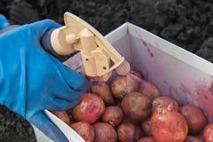 处理土豆杀虫药 图库摄影
