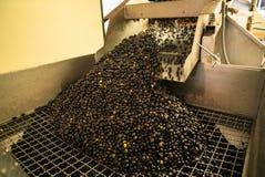 处理在榨油工厂的橄榄 免版税图库摄影