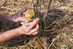 处理庭院贪污苹果树在春天 免版税库存图片