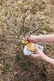 处理庭院贪污苹果树在春天 免版税库存照片