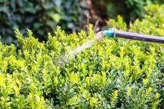 处理由杀虫剂的黄杨木潜叶虫灌木 库存图片