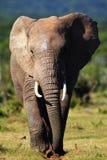 处理的大象 库存照片