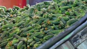 处理的新鲜的嫩黄瓜 股票视频