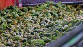 处理腌制的黄瓜 股票视频
