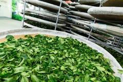 处理茶的发酵 免版税库存图片