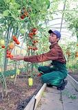 处理蕃茄灌木的工作者自温室 免版税库存照片