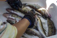 处理鱼 清洁鱼在钓鱼以后 免版税库存照片