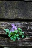 复制sp紫罗兰墙壁 免版税库存照片