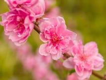 复杂挡水板桃子开花在春天 图库摄影