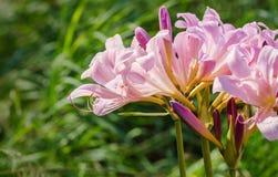 复活百合- Lycoris squamigera 免版税库存图片