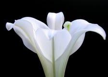 复活节百合 免版税库存图片