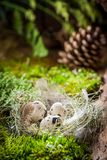 复活节的小鸡蛋在日出的森林里 免版税库存照片