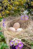 复活节结构的在秸杆、枝杈开花的杨柳和报春花巢的鸡蛋  库存图片
