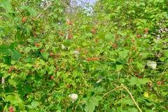 复盆子灌木丛密集的丛林装载用成熟莓果 免版税库存照片