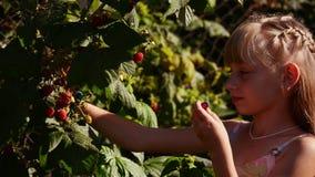 复盆子灌木丛红色 股票视频