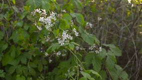 复盆子灌木丛绽放在春天庭院 影视素材