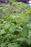 年轻复盆子灌木丛 图库摄影