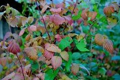 复盆子灌木丛 库存照片
